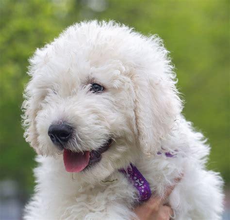 english cream goldendoodle waiting list deposit puppy
