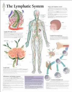 169 Best Images About Lymphatic System On Pinterest