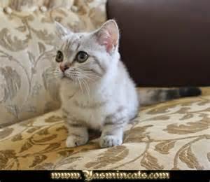 munchkin cat for munchkin cat breeds cats types