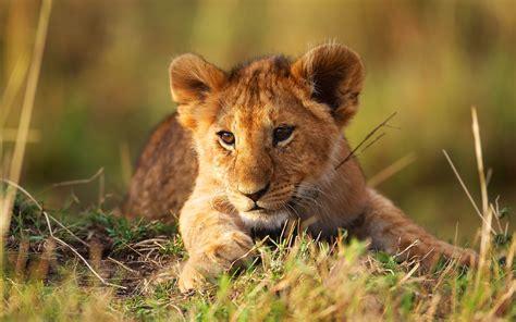 Fondos De Pantalla De Leones Beautiful Lion Cub Wallpapers 1920x1200 837032