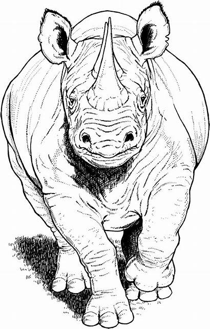Rhino Coloring Pages Animals Rhinoceros Running Rhinos