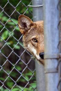 wolf finds new home at beardsley zoo