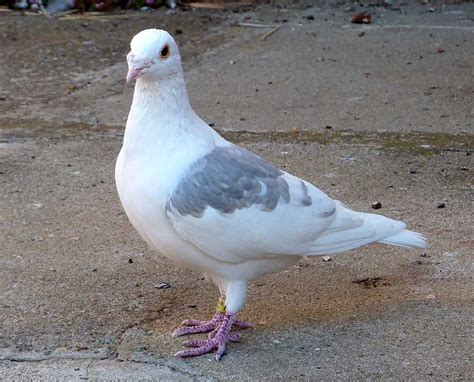 Most Beautiful Pigeon In The World