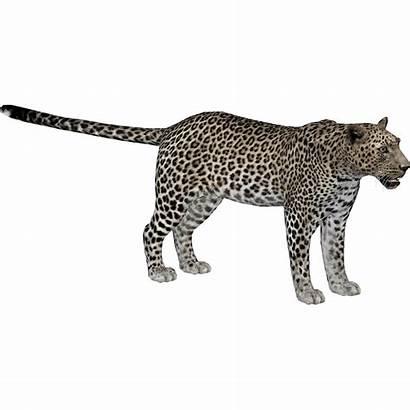 Leopard Arabian Zt2