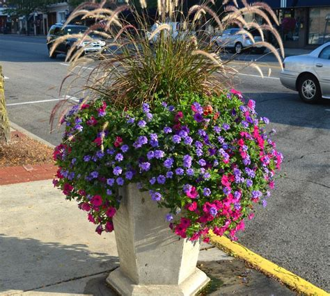 purple grass container ideas thriller purple fountain grass filler hmm looks like the purple verbena and hot pink petunias