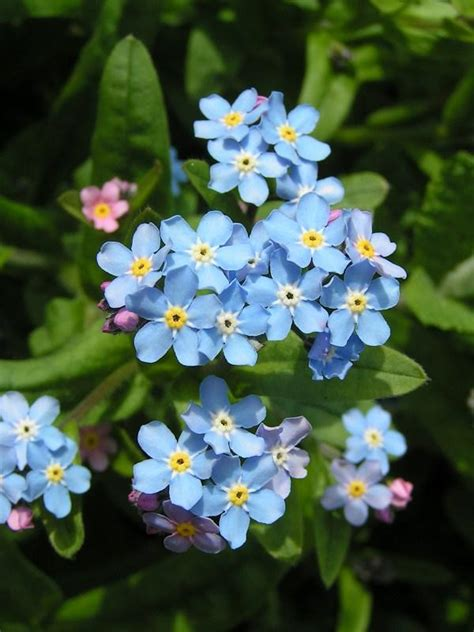 forget me not flowers gardenseed chinese forget me not