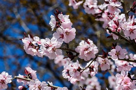 Close Up Of A Branch With Pink Cherry Tree Flowers In Full