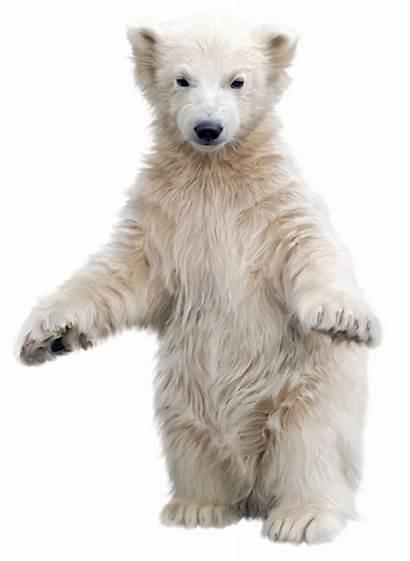 Polar Bear Transparent Clipart Background Animal Tubes