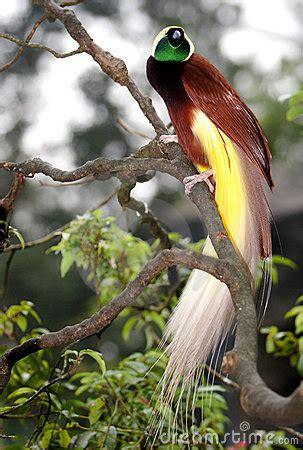 greater bird  paradise stock  image