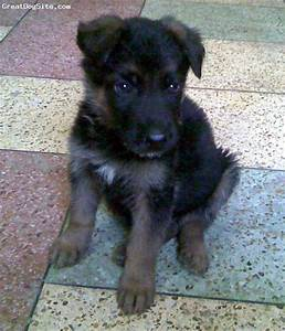 The gallery for --> Brown And Black German Shepherd Puppies