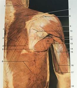 Superficial Layer Of Dorsal Aspect Of Upper Limb Muscles  Shoulder  U0026 Arm   1 7 3  Trapezius  4
