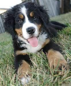 Bernese Mountain Dog Mix