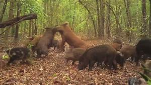 Wild Boar (Sus scrofa) or wild pigs, big Red dominate male ...