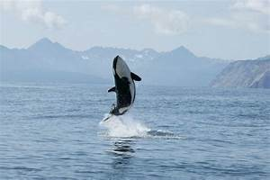 Killer Whale Calf Making High Jump Out Of The Water ...