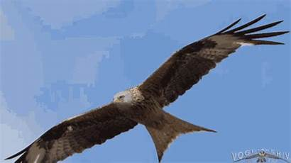 Eagle Flying Gifs Tenor
