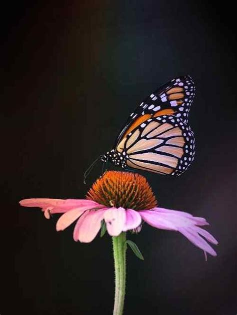 40+ Butterfly Images HD Photos wallpaper pics gallery ...