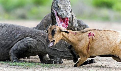 komodo dragons hunt  kill goat travel news travel