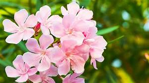 Pflege Von Oleander : krebs bei oleander bek mpfen ratgeber garten ~ Eleganceandgraceweddings.com Haus und Dekorationen