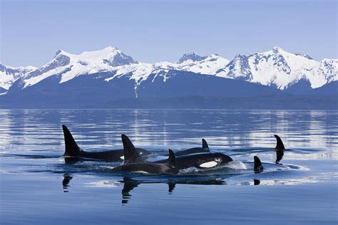 orca surface in canal near juneau photograph by hyde