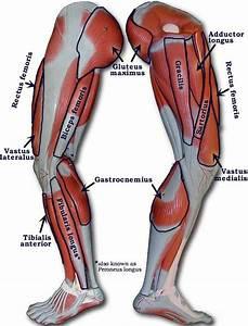 Anatomy And Cell Biology 213  U0026gt  Dehn  U0026gt  Flashcards  U0026gt  Thigh