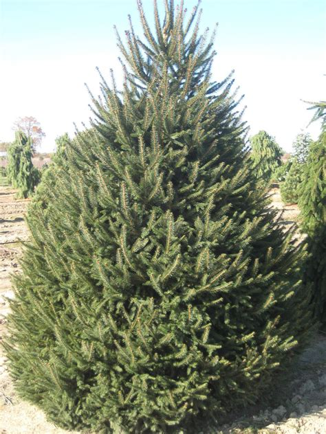 spruce trees trees planet picea abies norway spruce