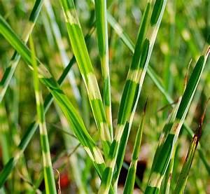 Miscanthus Sinensis Strictus : plantes oasis miscanthus sinensis strictus ~ Michelbontemps.com Haus und Dekorationen
