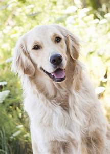 Golden Red River : 91 best images about white golden retriever on pinterest english white golden retrievers ~ Orissabook.com Haus und Dekorationen