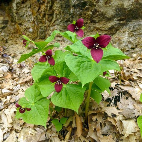 trillium leaves red trillium new hshire garden solutions