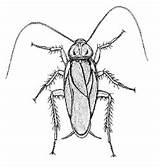 Cockroach Desertmuseum sketch template