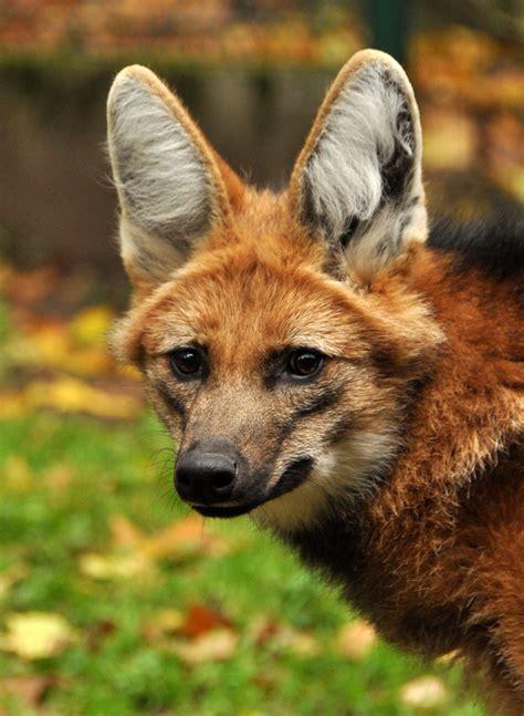 maned wolf destination wildlife