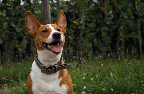 ear mites  dogs signs symptoms treatment canna pet