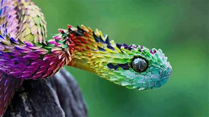 Viper Bush African Rainbow Giphy Atheris Gifs