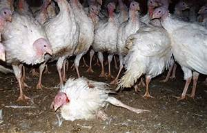 22 Facts That Will Make You Pass on Turkey This Year | PETA