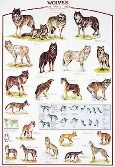 wolf all species Cerca con Google Wolves Pinterest