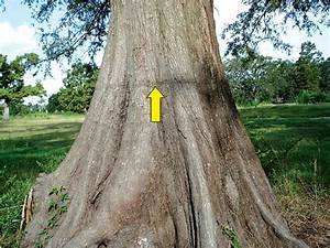 Distinct Line On The Trunk Of A Bald Cypress Tree Marks The Standing