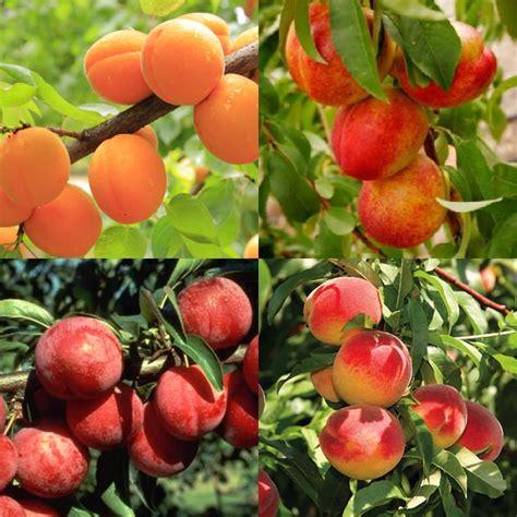 Fruit Salad Tree Presale