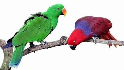 Nuri Bayan Burung Gambar Clipart Parrot Lovebird