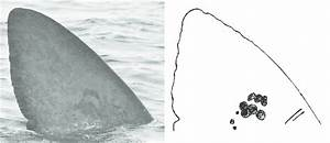 Sample Basking Shark Dorsal Fin Photograph And Sketched Cartoon  The