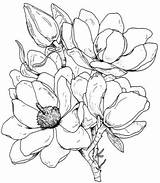Magnolia Coloring Flower Tree Drawing Flowers Gazebo Outline Line Pages Magnolias Template Sketch Drawings Easy цветочки Draw Experiment Technique Thursday sketch template