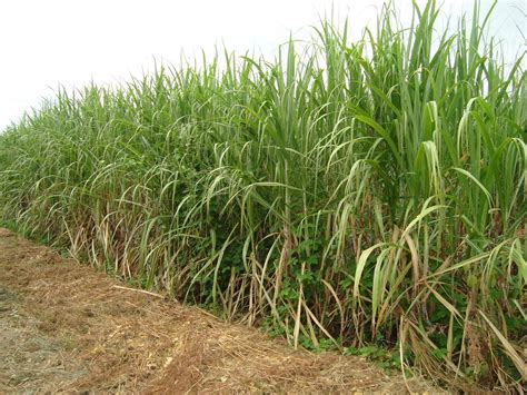 KĀJĀM GAISĀ: Cukura lauki