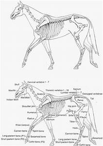 Horse Hoof Diagram Labeled