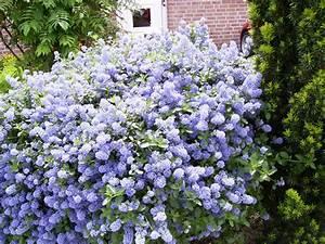 Blau Blühender Bodendecker : blau bl hender strauch wie heisst er kraut r ben forum ~ Frokenaadalensverden.com Haus und Dekorationen
