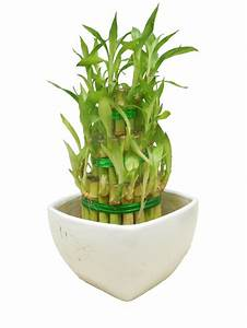 Bambus Als Zimmerpflanze : zimmerpflanzen die gl ck bringen ~ Eleganceandgraceweddings.com Haus und Dekorationen