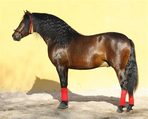 andalusians majestic zamorano stallion pre