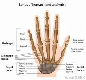 What Are The Components Of The Skeletal System   With