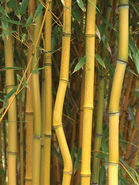 ornamental bamboo species types of ornamental bamboo plants bamboo plants hgtv