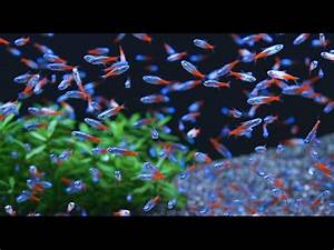 Neon Tetra Fish in Aquarium Planted Tank
