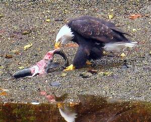 Eagle Eating Salmon 2 | Flickr - Photo Sharing!