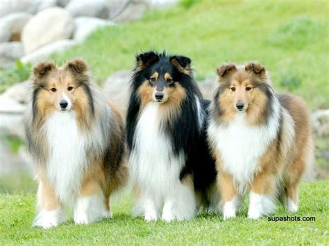 best 25 shetland sheepdog puppies ideas on pinterest
