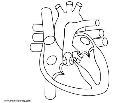 anatomy coloring pages  human heart  printable